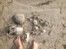 Brain coral on the beach.