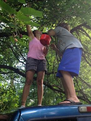 Picking mulberries